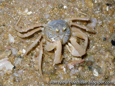 Soldier Crabs (Dotilla myctiroides)