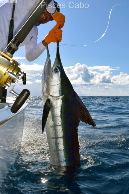 Pisces fleet sportfishing blog for Cabo san lucas fishing report