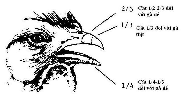 Vị trí cắt mỏ trên gà, nhằm hạn chế mổ lẫn nhau.