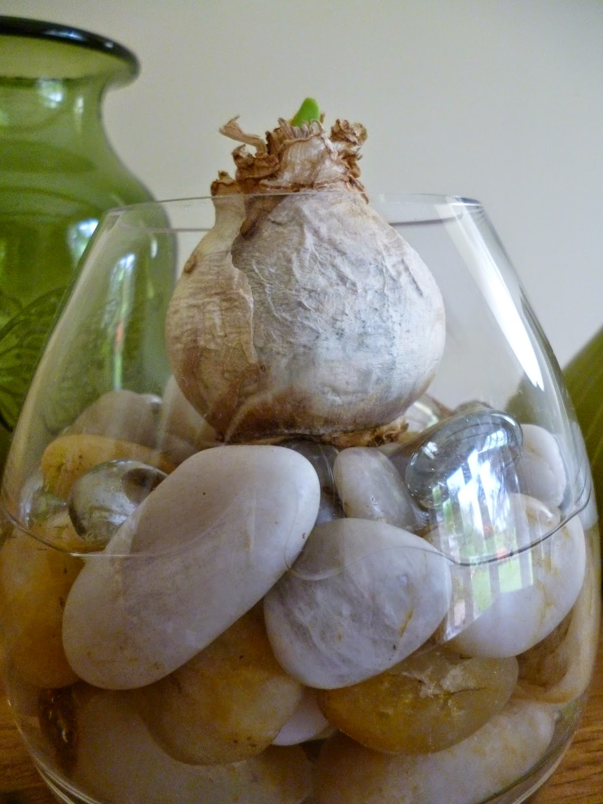 Hyacinth bulbs grown in water