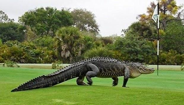 Kemunculan alligator gergasi kejutkan pemain golf