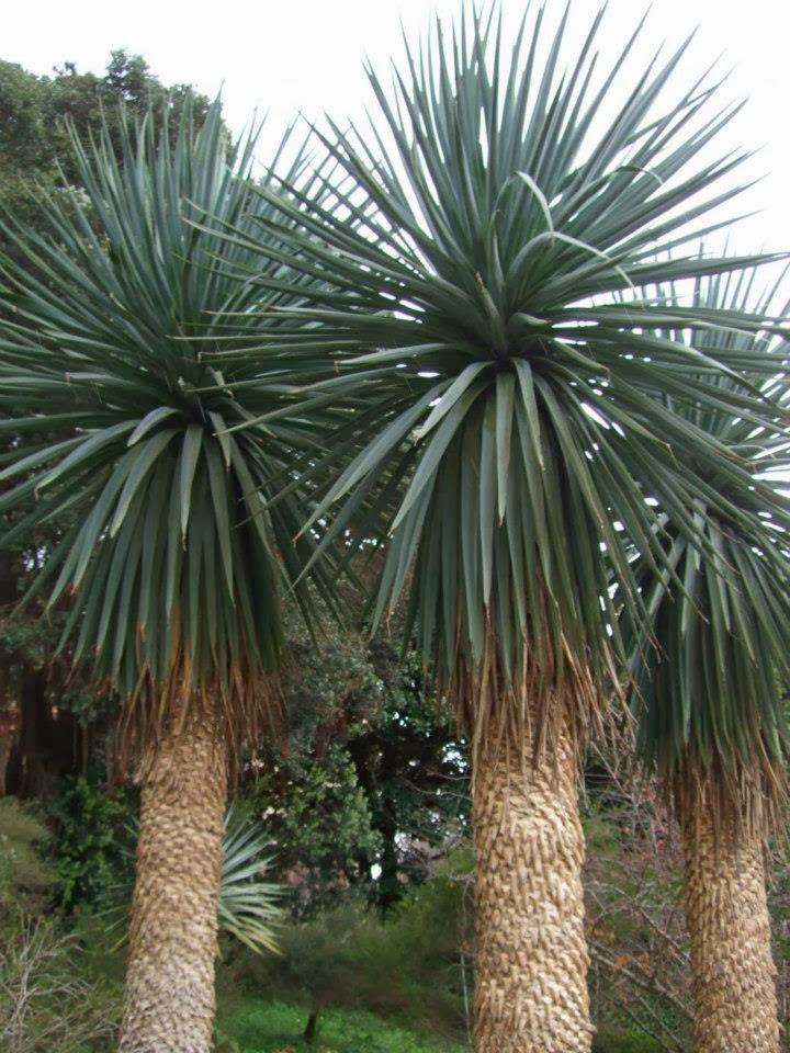 Yucca rostrata at Palheiro Gardens, Madeira