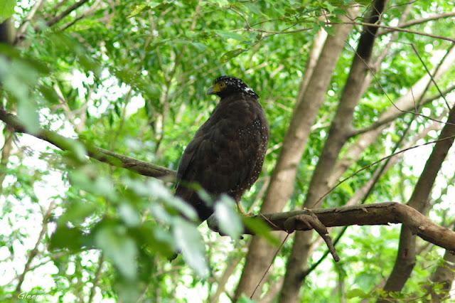 雞南山的大冠鷲