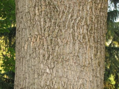 The Worlds Tree Species Norway Maple Acer Platanoides L - Norway maple bark