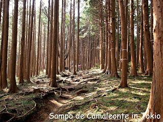 杉林の山道