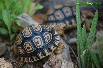 Tortuga leopardo (Stigmochelys pardalis)