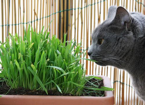 Erba gatta per appassionati di gatti for Erba per gatti