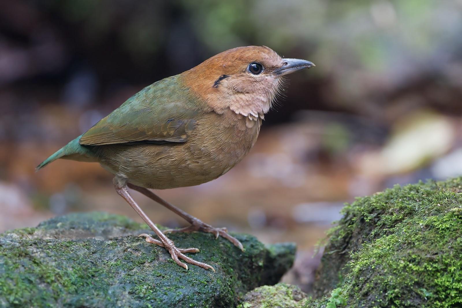 Rusty Naped Pitta Bird