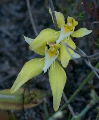 Cowslip Orchid (Caladenia flava)