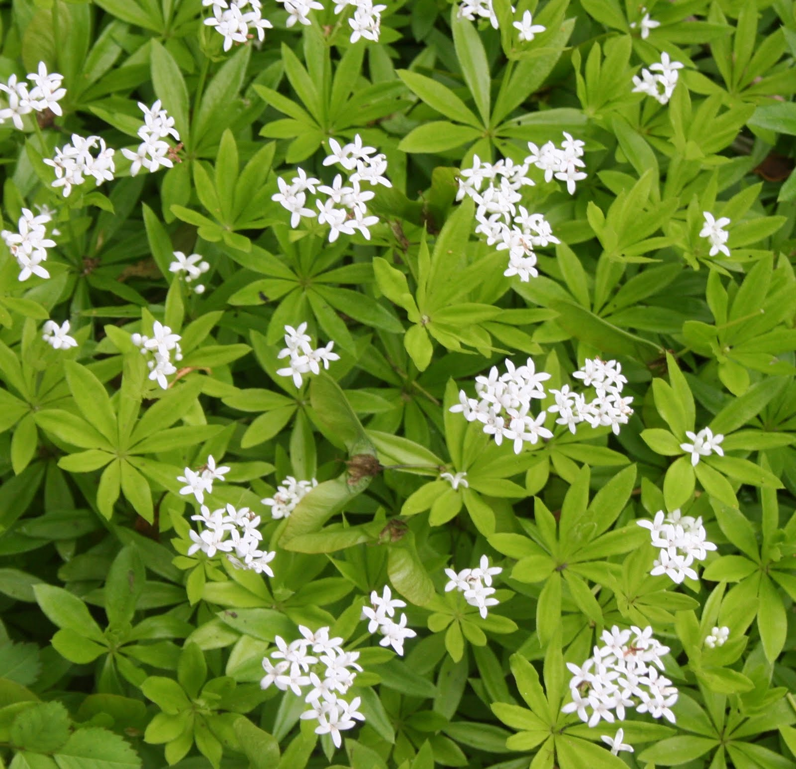 our garden journal delicate sweet woodruff