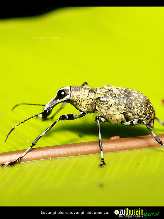 Weevil besar di Hutan Lipur Sekayu