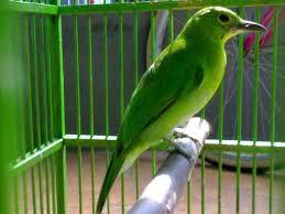 Foto Burung Cucak Ijo Gacor Suara Kicau Nyaring Gambar Cucak Hijau