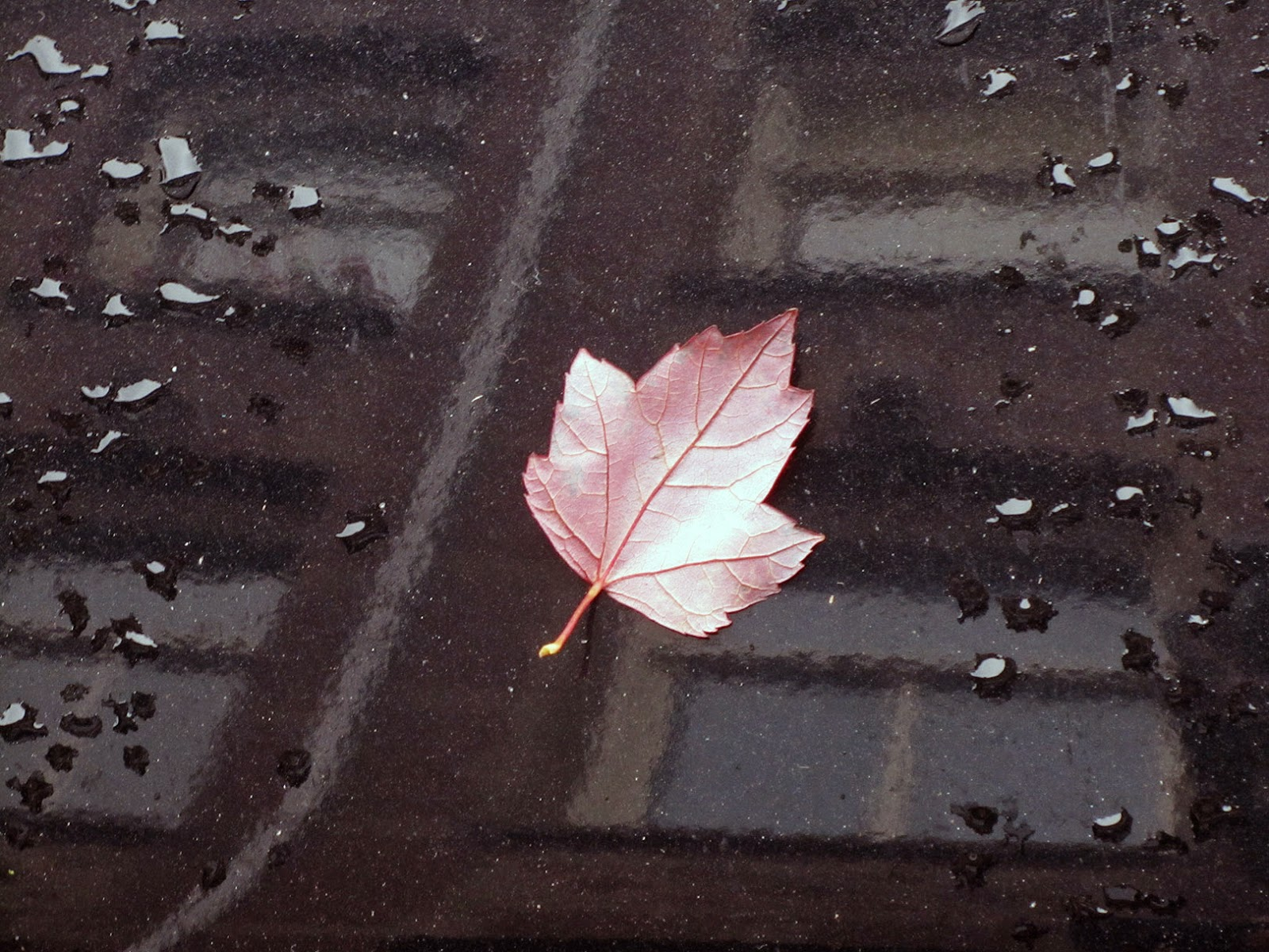 pink leaf on black car with reflection of windows