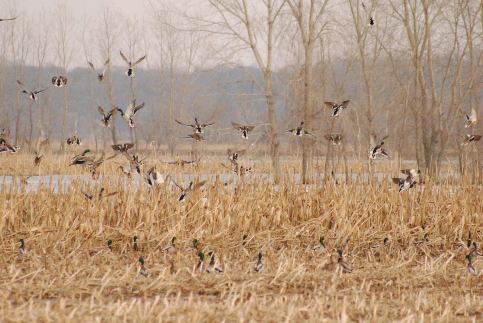 Missouri Duck Hunts