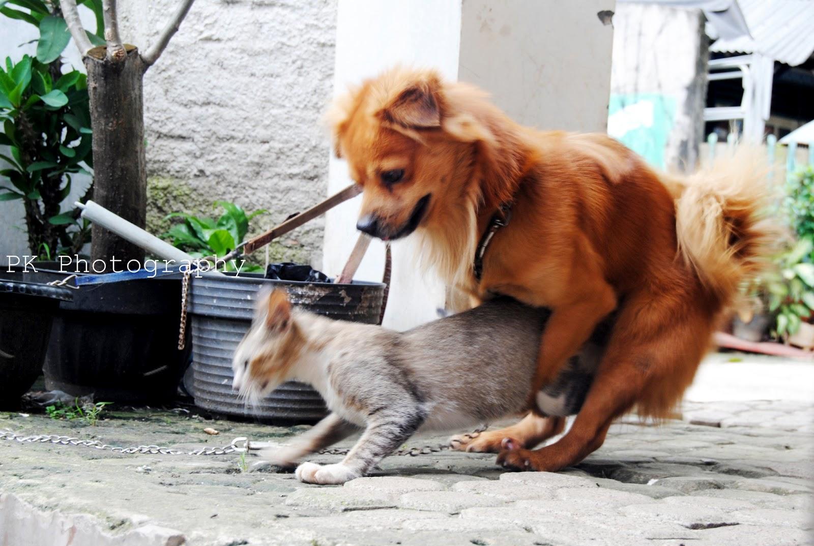 gambar kucing - gambar kucing kawin
