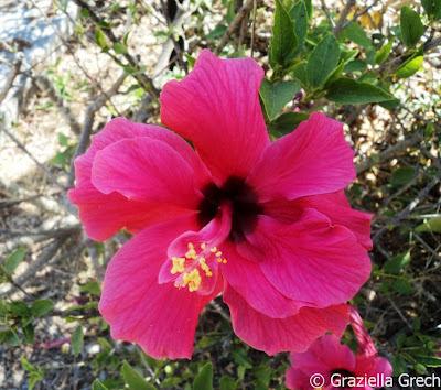 malta pink hibiscus