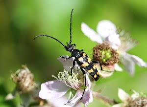 Four-banded Longhorn Beetle