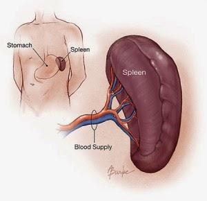 Fungsi Organ Limpa dalam Tubuh Manusia