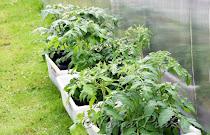 Herding av plantene før utplanting.