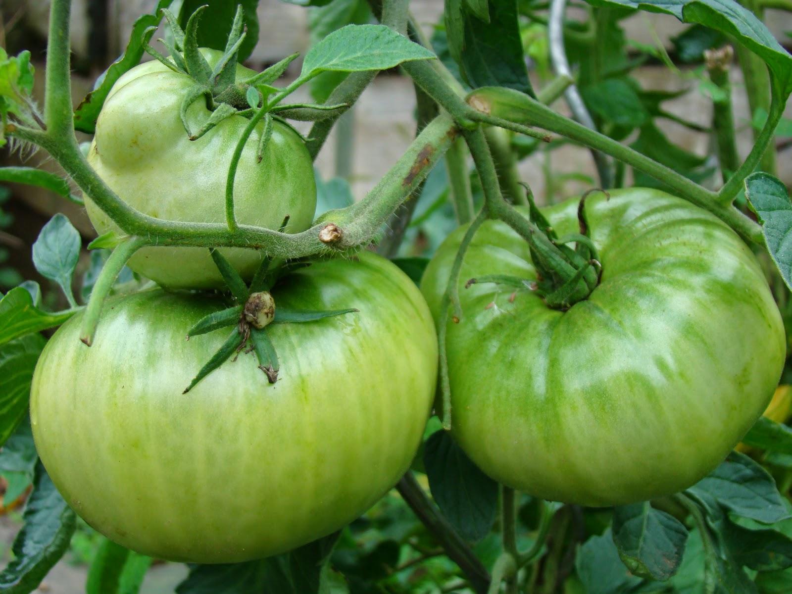 Ancienne variété tomate italienne