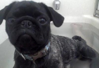 Pugapoo Puppies: Dadda, MOO MOO
