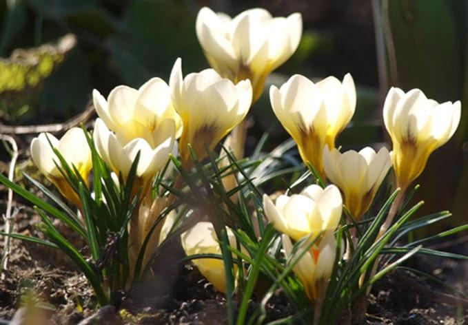 Smukke flødefarvede krokus blomstrer i haverummene