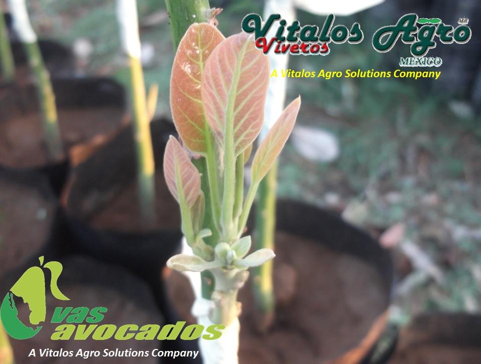 Nuestra tecnolog a en producci n de plantas de aguacates for Vivero agronomia