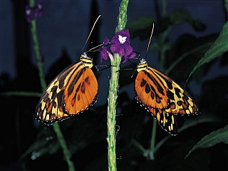 A male and female butterfly in courtship dance