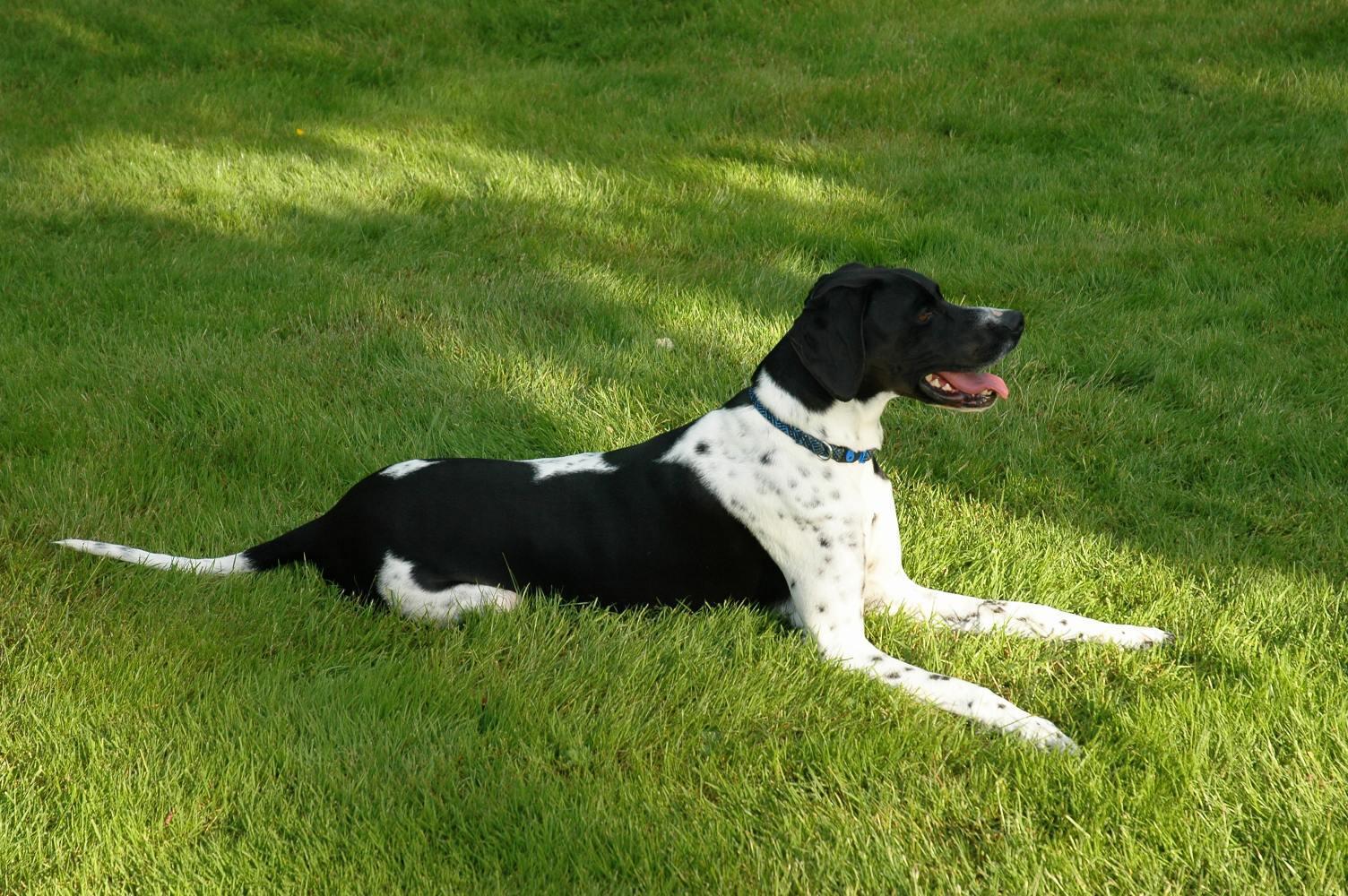 Breeds Dog English Pointer Dog Description
