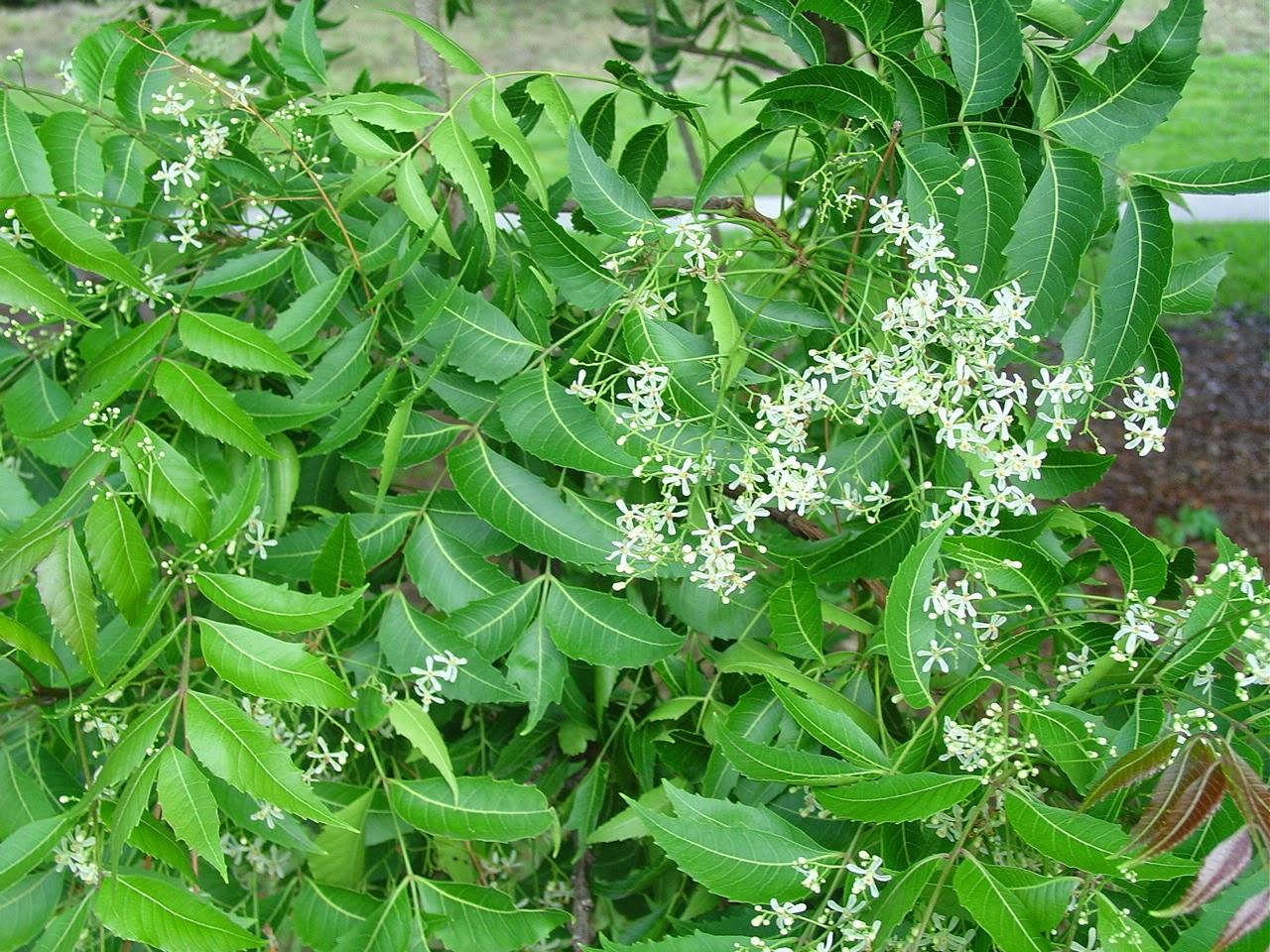 Azadirachta indica - Wikipedia