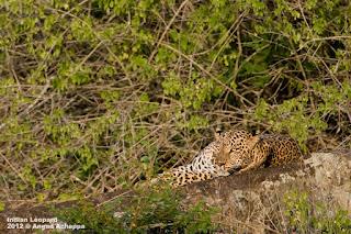leopard bandipur angad achappa