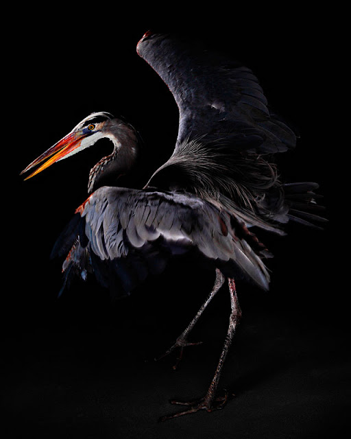 aves, supervivientes, Bob Croslin, fotografia, Grounded, Winged, Survivors, Florida, Gulf Coast, Blue Heron, Suncoast Seabird Sanctuary