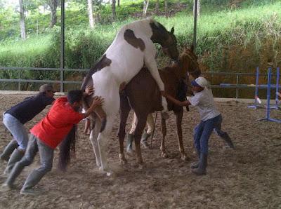Bagaimana cara kuda kawin?