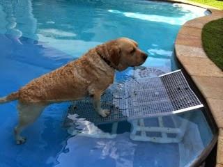 cão saindo da piscina