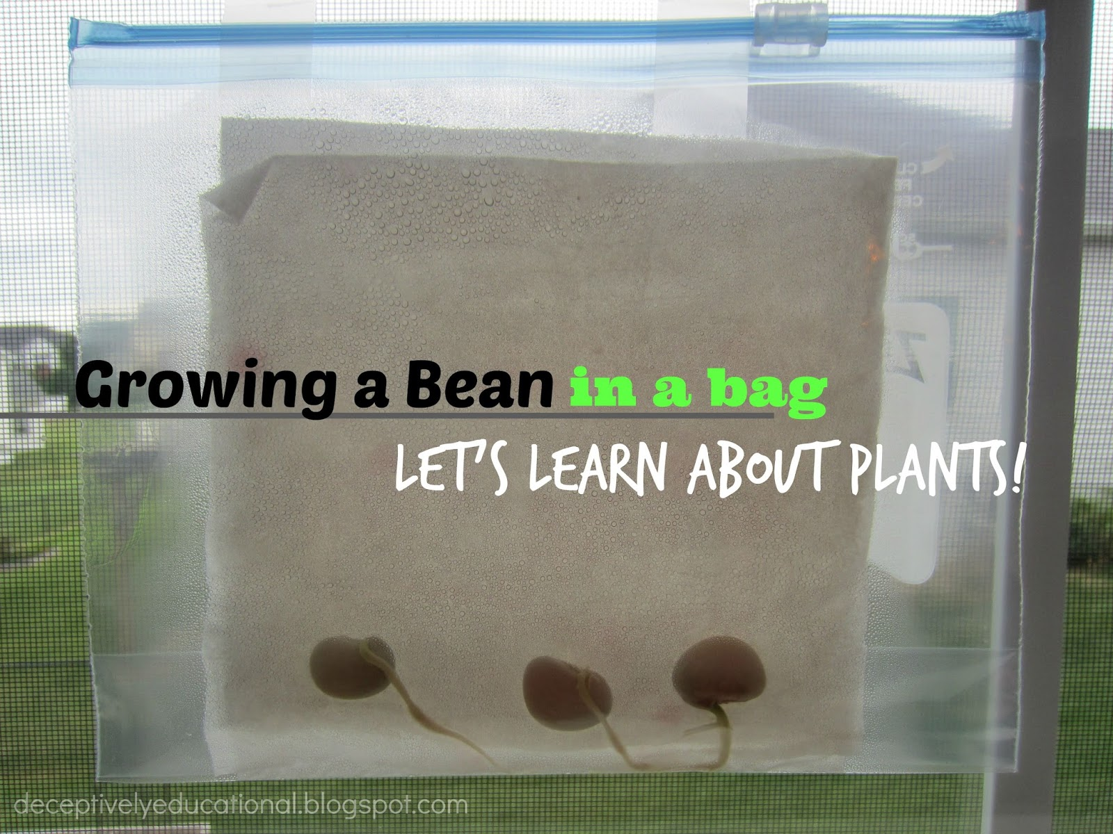 To do that  we planted some beans inside and watched them sprout for nearly  two weeks. Relentlessly Fun  Deceptively Educational  Growing a Bean in a Bag