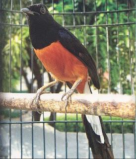 Perawatan Burung Murai Batu