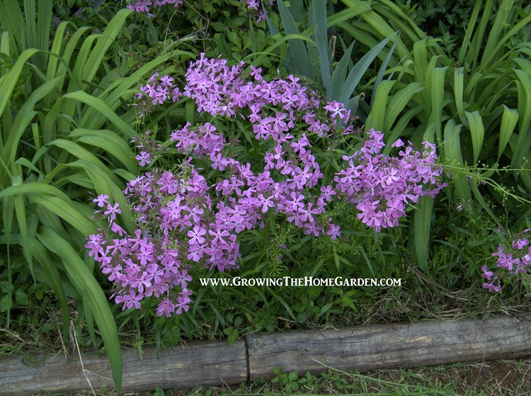 how to get federation daisies to grow from cuttings
