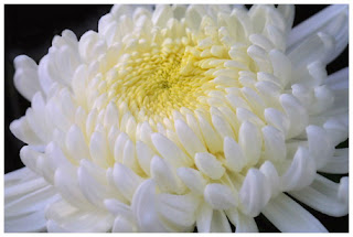 CHRYSANTHEMUMS TOMOHON