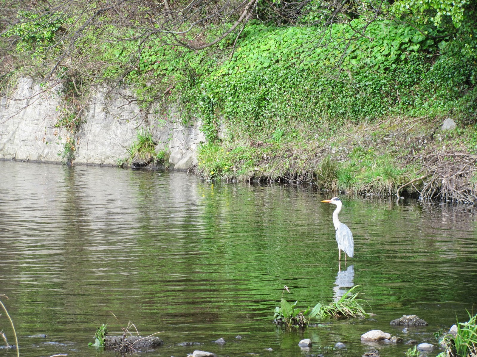 River Dodder Heron