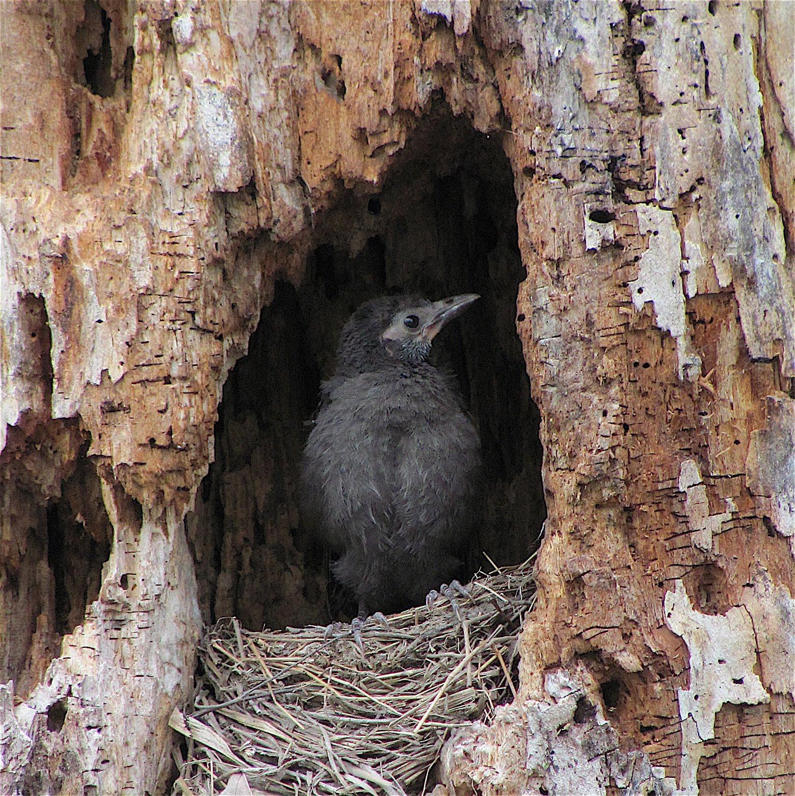 fledgling grackle - photo #41