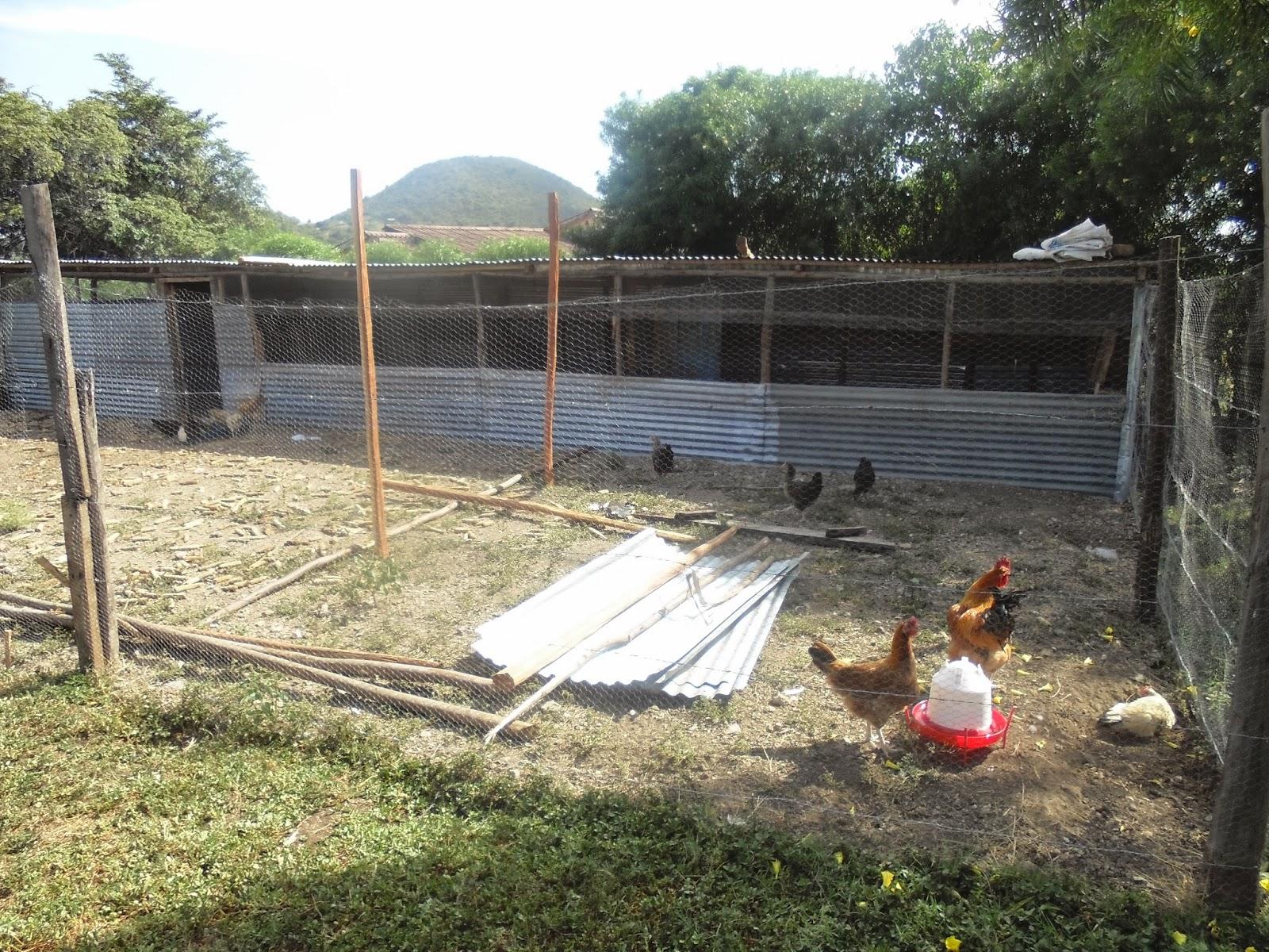 kienyeji chicken june 2014