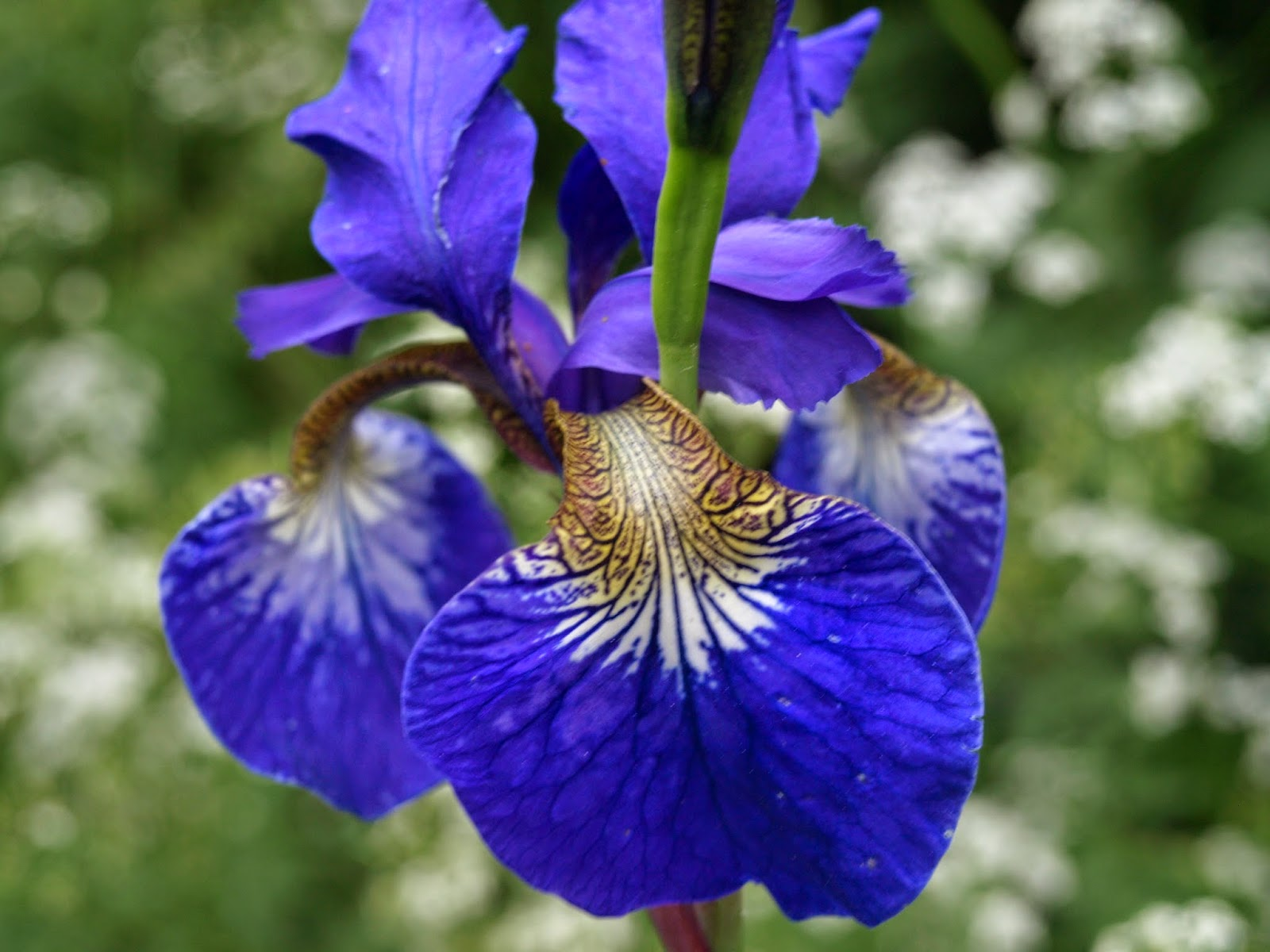 längtans blåa blomma