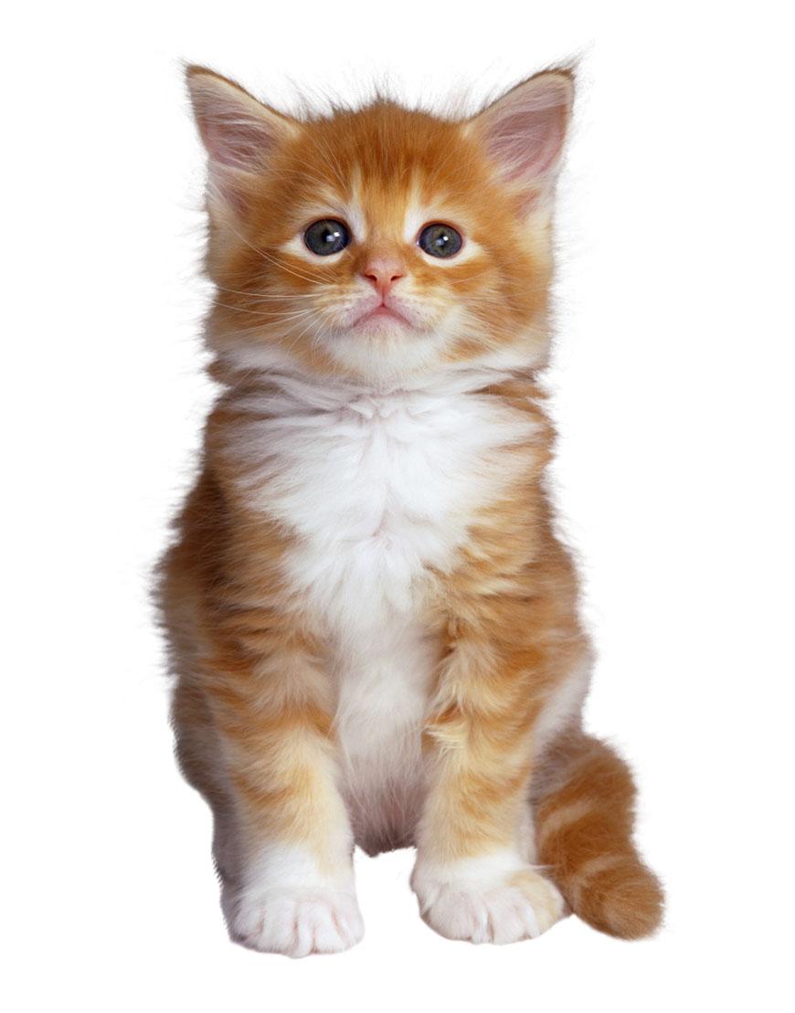 gato comunes: