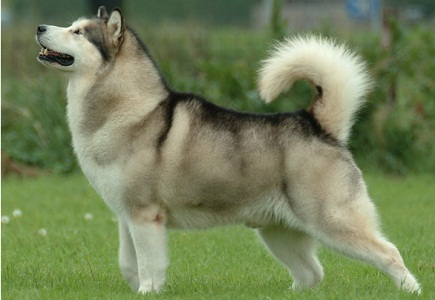 Aggressive Dogs Breeds In India