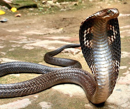 Indian king cobra snake images