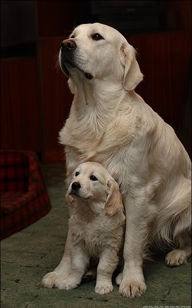 Life expectancy in Labrador Retrievers