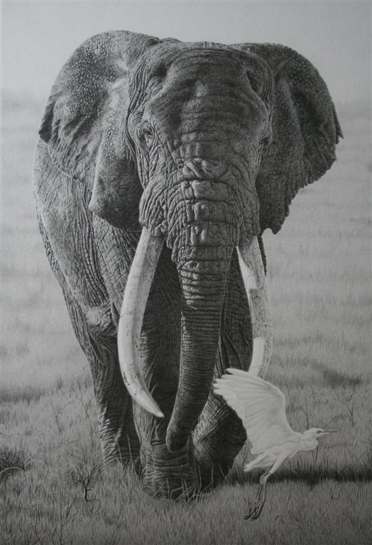Clive Meredith Wildlife Art: Elephant drawing completed 17 ... Realistic Elephant Drawing