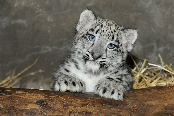 White Wolf Baby Snow Leopard Makes Its Debut At Chicago Zoo Video
