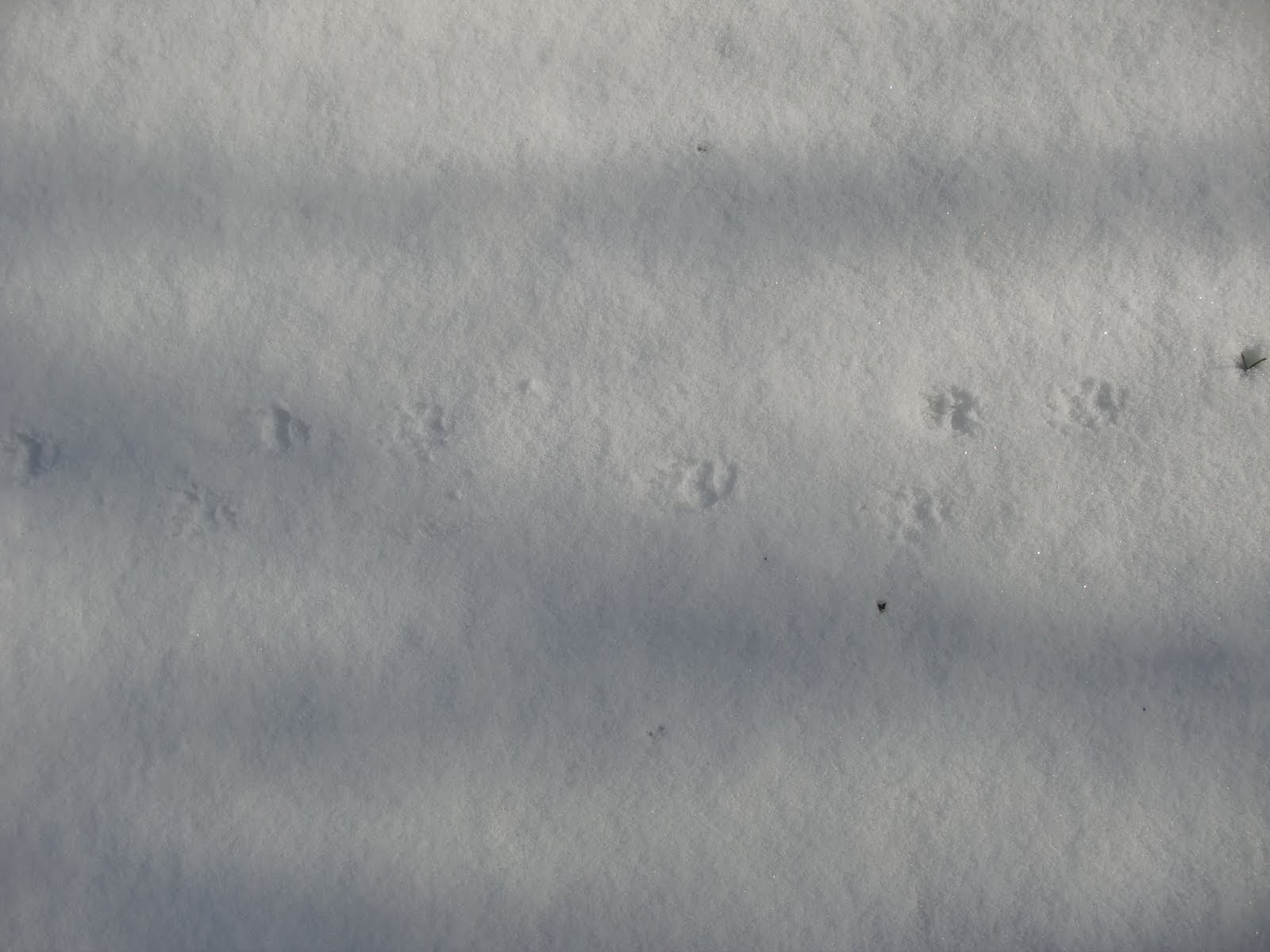 Skunk Tracks vs Raccoon Tracks Mice Bunnies Raccoon Skunk