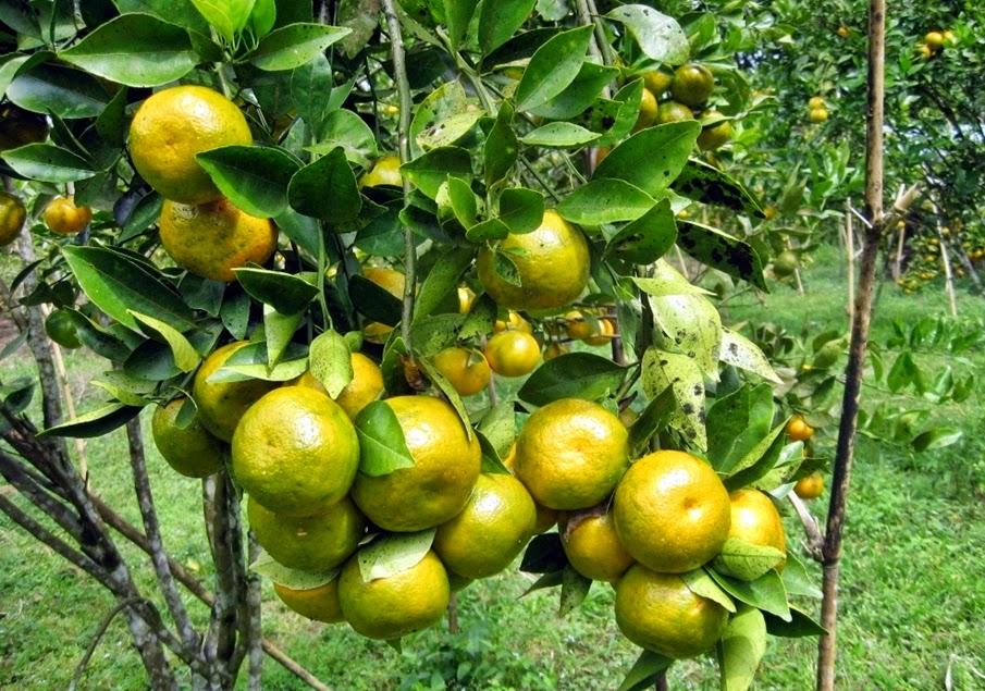 kebun jeruk manis di mamuju sulawesi barat